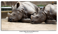 Greater Indian One-horned Rhinocerous