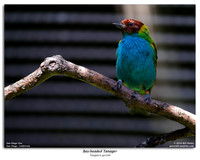 CaliforniaBay-headed Tanager