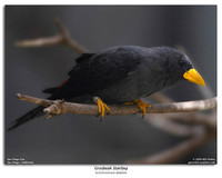 Grosbeak Starling