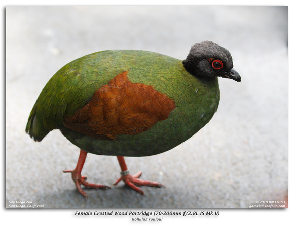 Female Crested Wood Partridge